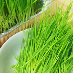 Get raw and grow wheatgrass at home