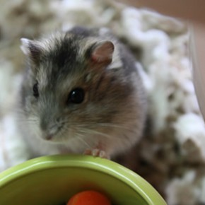 Our new hamster, Max